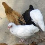 5 kuřat